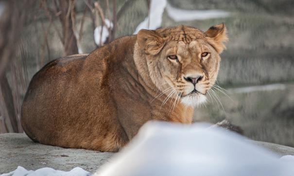 Львы и тигры в новосибирском зоопарке переехали в новые вольеры