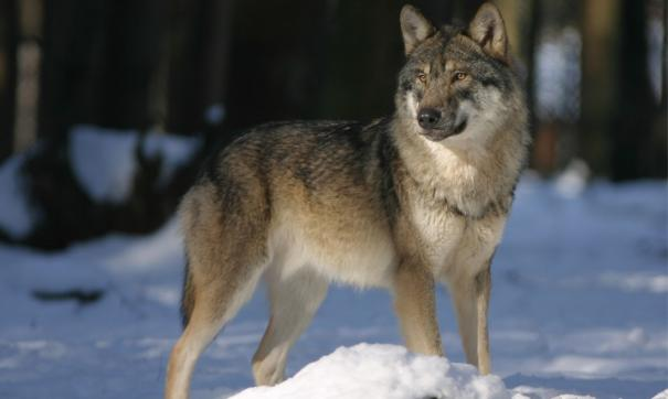По словам инсайдера, серых хищников неоднократно видели на окраинах поселков Верхнемарково и Казарки