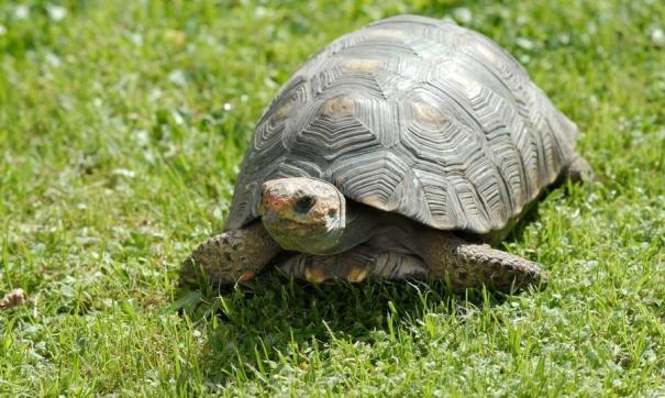 За самцов черепах заводчики планируют выручить порядка 50 тысяч рублей