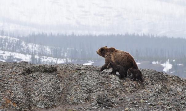 Медведь который не залег в спячку практически не имеет промысловой привлекательности, но может быть опасен для человека