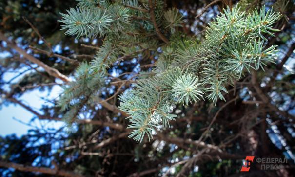 Свердловчанам напомнили, как законно срубить новогоднюю елку