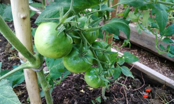 На Новопортовском месторождении собрали урожай овощей