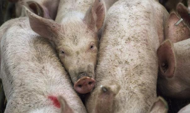 Во всех селах жители выступили против строительства свинарников на месте Курской битвы