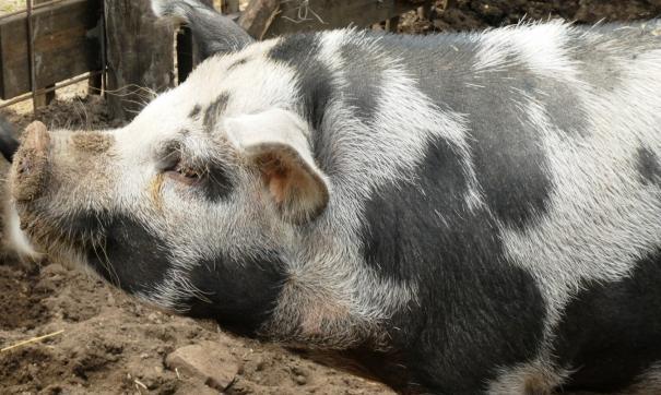 После экскурсии на свинокомплекс «Мираторга» осталось больше вопросов, чем ответов