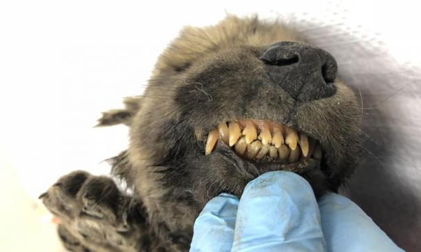 Якутского древнего щенка будут исследовать ученые из Швейцарии