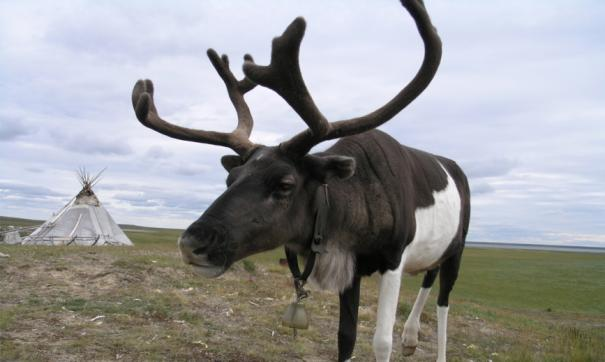 На Ямале привили более 100 тысяч оленей