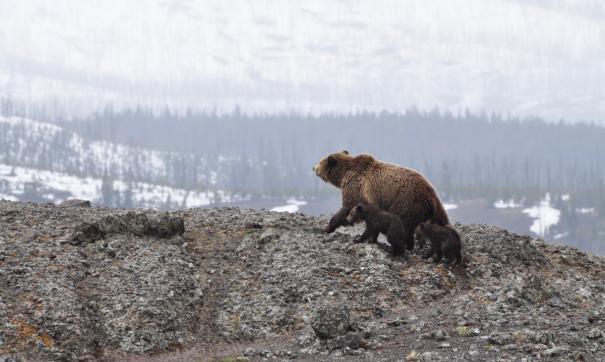 Пробуждаясь от зимнего сна медведи выходят на южные склоны