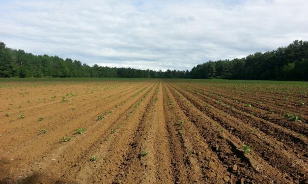 Ноябрьск может стать аграрной столицей Ямала. Здесь экспериментируют с картофелем и свеклой