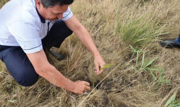 В Новосибирской области из-за засухи гибнут посевы