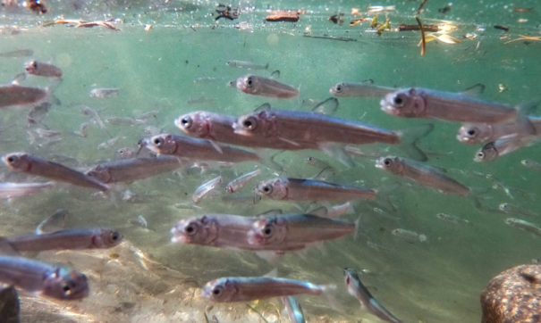На Ямале в реку Собь выпустили партию мальков чира