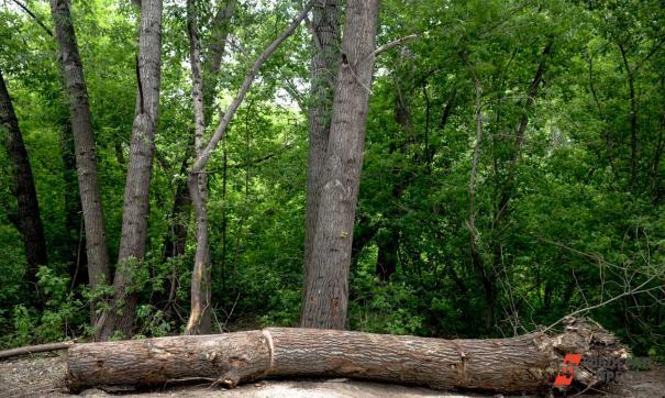 Состояние деревьев эксперты будут устанавливать по спилам
