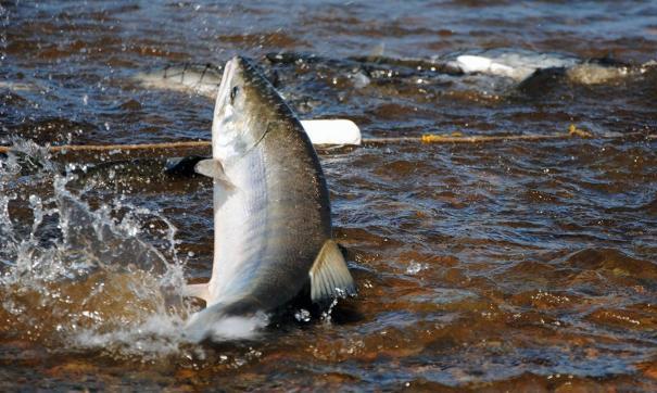 В Югре  в реку Иртыш выпустили восемь тысяч мальков сибирского осетра