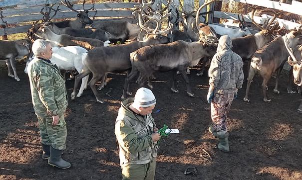 На Ямале 76 процентов оленей привили от сибирской язвы
