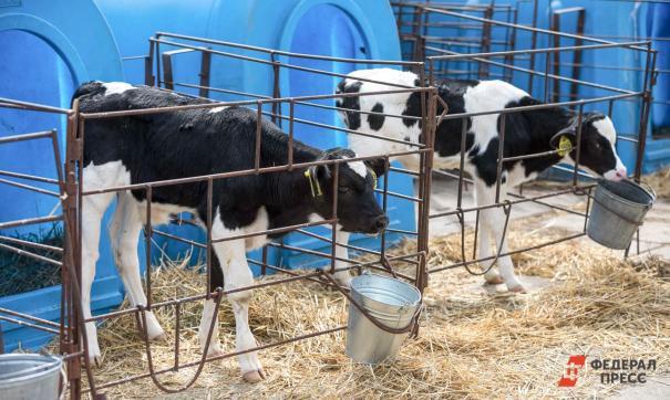 Поголовье крупного рогатого скота в 2020 году в Нижегородской области выросло
