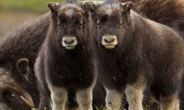 Телята овцебыка