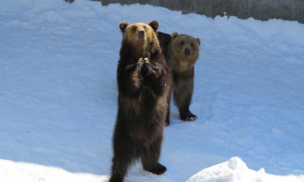 Медведи иногда приходят к людям