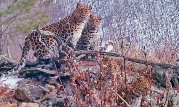 Редкие кадры: приморские ученые сняли четырех дальневосточных леопардов