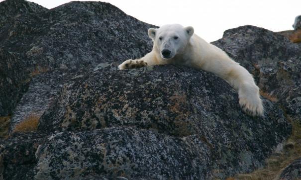 Якутские экологи отлавливают белого медведя