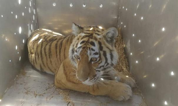 В приморском селе поймали тигра – охотника за домашними животными