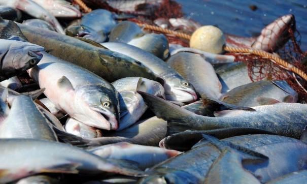 Сейчас уловы рыбаков становится просто негде хранить