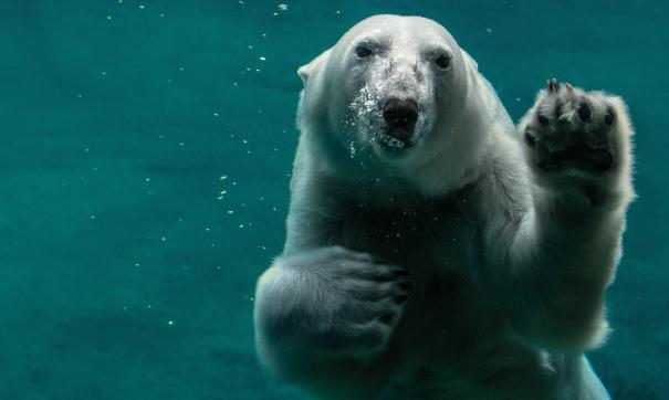 Эксперт объяснил, с чем связан зеленый окрас белых медведей