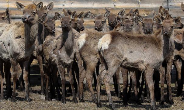 Животных выпускают на природу уже в третий раз за нынешнюю весну
