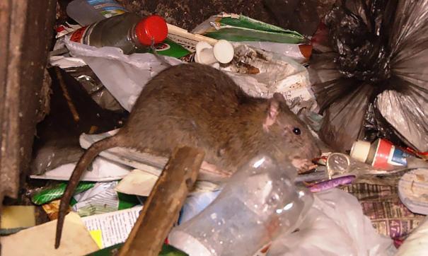 Крысы с развалов мусора в Миассе бегают на детскую площадку
