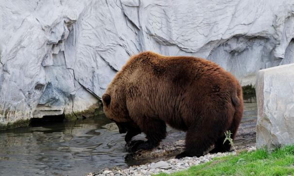 При столкновении с голодным медведем у человека практически нет шансов на спасение