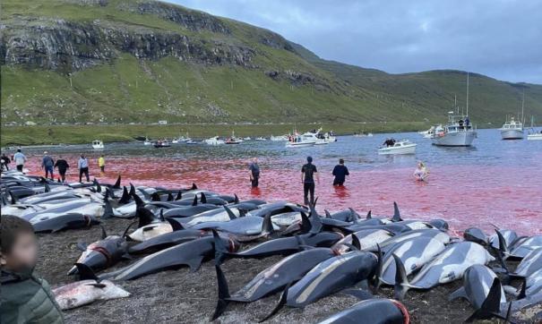 Власти Фарерских островов пересмотрят правила охоты на дельфинов