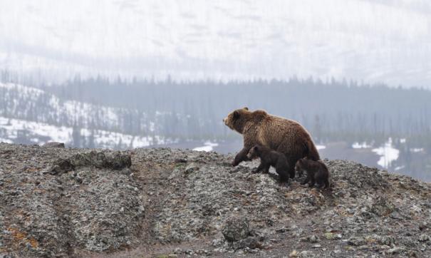 Медведи стали все чаще выходить к людям