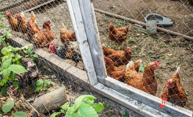 В деревнях уничтожены сотни кур